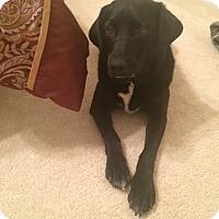 Adopt A Pet :: Sweetie - Millersville, MD