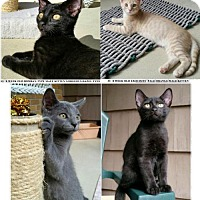 Adopt A Pet :: 2 Bombays, 1 Russian Blue, 1 Buff Tiger - Philadelphia, PA