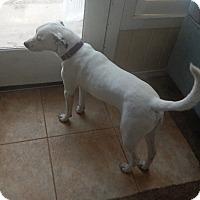 Adopt A Pet :: Harley - Syracuse, IN