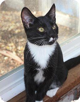 Domestic Shorthair Cat for adoption in Morgan Hill, California - Socks
