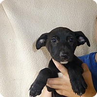 Adopt A Pet :: Sweat Pea - Oviedo, FL