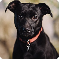 Adopt A Pet :: Lacey - Portland, OR