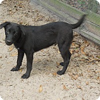 Labrador Retriever/Terrier (Unknown Type, Medium) Mix Dog for adoption in Old Town, Florida - Zack