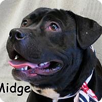 Adopt A Pet :: Midge - Warren, PA