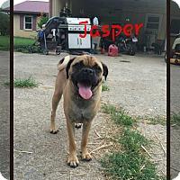 Adopt A Pet :: Jasper (POM DC) - Spring Valley, NY