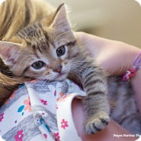 Domestic Shorthair Kitten for adoption in Nashville, Tennessee - Rusty