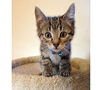 Domestic Shorthair Kitten for adoption in Cleveland, Ohio - Yossarian
