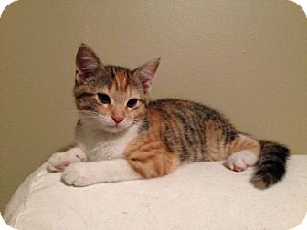 Domestic Shorthair Kitten for adoption in Fishers, Indiana - Wink