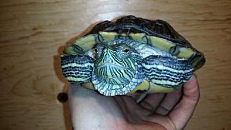Turtle - Other for adoption in Markham, Ontario - Nikki