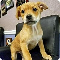 Labrador Retriever Mix Puppy for adoption in Arlington, Virginia - Steffi