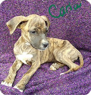 Boxer/Labrador Retriever Mix Puppy for adoption in Niagra Falls, New York - Carla
