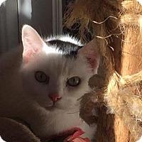 Domestic Shorthair Cat for adoption in Alexandria, Virginia - Ferdinand