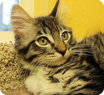 American Shorthair Kitten for adoption in Eastsound, Washington - Sammy