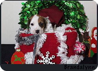 American Bulldog/Pointer Mix Puppy for adoption in Tampa, Florida - Brandalynn