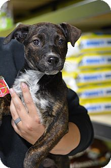 Shepherd (Unknown Type)/Boxer Mix Puppy for adoption in Fort Collins, Colorado - Dolly (FORT COLLINS)