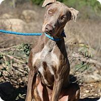 Adopt A Pet :: Ghost - Fillmore, CA