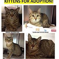 Adopt A Pet :: Kittens! - Elmhurst, NY