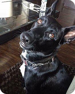 German Shepherd Dog/Labrador Retriever Mix Dog for adoption in Charlotte, North Carolina - Cambi