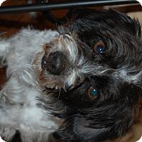 Adopt A Pet :: Bandit - Minot, ND