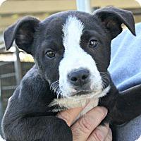 Adopt A Pet :: Storm - Sunnyvale, CA