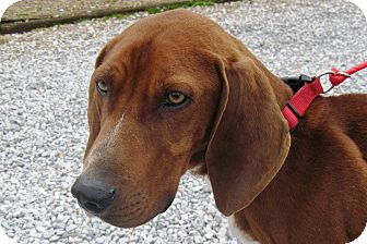 Redbone Coonhound Mix Dog for adoption in Albany, New York - Sherlock
