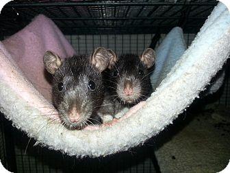 Rat for adoption in Lakewood, Washington - Two Black Selfs