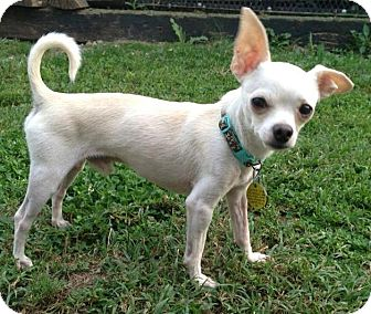 Chihuahua Dog for adoption in North Olmsted, Ohio - Tyson