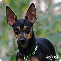 Miniature Pinscher/Dachshund Mix Puppy for adoption in Syracuse, New York - Autumn