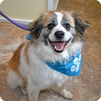 Papillon Mix Dog for adoption in East Smithfield, Pennsylvania - Cecil