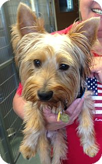 yorkie rescue missouri independence mo yorkie yorkshire terrier meet tux a 3913