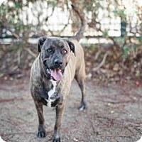 Adopt A Pet :: DALLAS A1444219 IN DANGER AT WEST VALLEY - Beverly Hills, CA