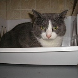 Photo 2 - Domestic Shorthair Cat for adoption in Geneseo, Illinois - Simon