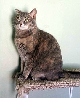 Domestic Shorthair Cat for adoption in Arlington/Ft Worth, Texas - Delilah