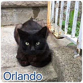Domestic Shorthair Cat for adoption in Wayne, New Jersey - Orlando