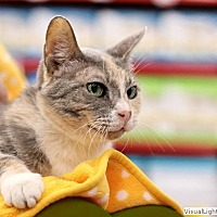 Domestic Shorthair Cat for adoption in Westchester, California - Zelda