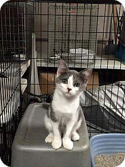 Domestic Shorthair Kitten for adoption in Tremont City, Ohio - Esther