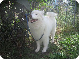 Samoyed Dog for adoption in Arlington Heights, Illinois - Bella