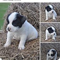 Adopt A Pet :: Amelia - Burlington, VT