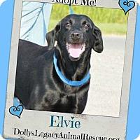 Adopt A Pet :: ELVIE - Lincoln, NE
