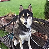 Siberian Husky Mix Dog for adoption in Cavan, Ontario - Prince