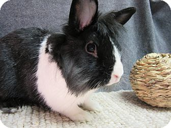 Lionhead Mix for adoption in Newport, Delaware - Carlton