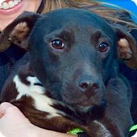 Adopt A Pet :: Dot - New York, NY