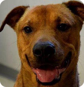 Retriever (Unknown Type)/German Shepherd Dog Mix Dog for adoption in Decatur, Georgia - RUPERT
