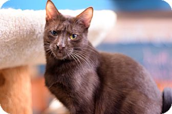 Domestic Shorthair Kitten for adoption in Virginia Beach, Virginia - Paddington