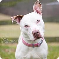 Adopt A Pet :: Nole - Reisterstown, MD