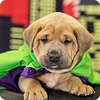 Adopt A Pet :: Hulk - Little Rock, AR