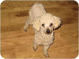 Poodle (Toy or Tea Cup) Dog for adoption in Mahwah, New Jersey - Cory