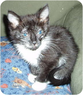 Domestic Shorthair Kitten for adoption in Westfield, Massachusetts - Smokey's #2 Kitten