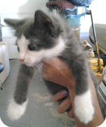 Domestic Mediumhair Kitten for adoption in Raritan, New Jersey - Jules
