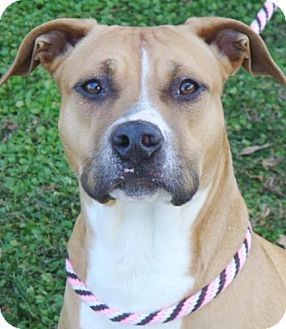 American Pit Bull Terrier Mix Dog for adoption in Red Bluff, California - Fatima-URGENT